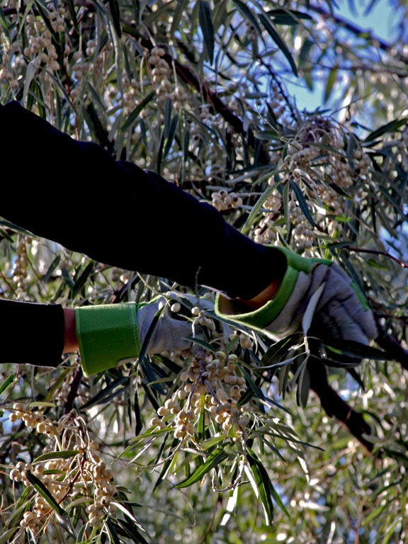 Watch those Olive Tree Thorns